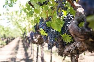 grapes-1952073_1920